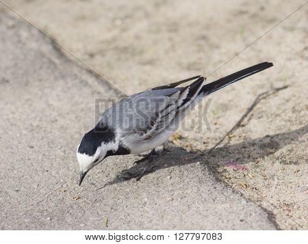 White wagtail Motacilla alba close-up searching for food on ground selective focus