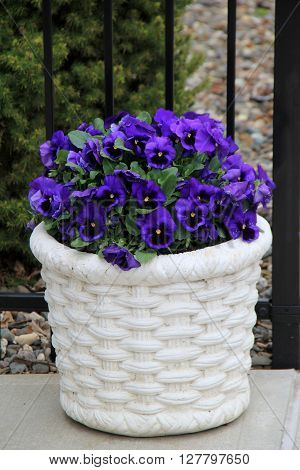 Large white pot with beautiful color of purplish-blue pansies, a favorite of many gardeners.