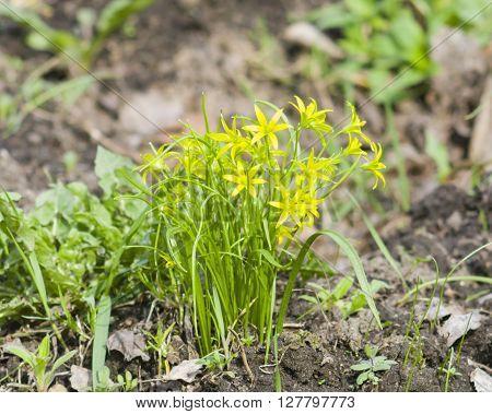 Blooming Yellow Star-of-Bethlehem Gagea lutea closeup selective focus shallow DOF