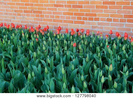 Landscape of red and peach color tulips, opening to the Springtime sun, set against an old,weathered brick wall.