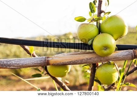 Green Apple On Its Shaft With Irrigation Pipe