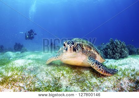 Green Sea Turtle on the sea bed with a diver in the background.