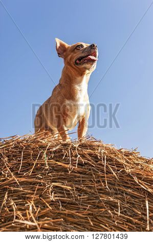 Puppy On Hay Bale And Sky Background