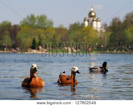 Ducks swimming in the pond. Pond in the city. Background - trees, temple, blue sky. Calm, rest in the city, the serenity. Ducks red