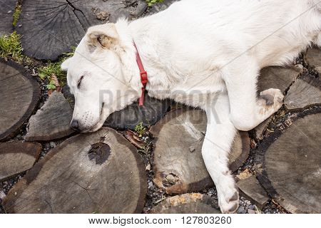 closeup picture showing a dog as it sleeps on a rustic floor