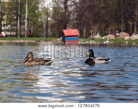 Ducks swimming in the pond. Pond in the city. Calm, rest in the city, the serenity.