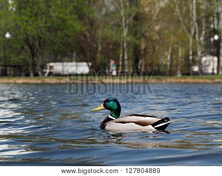 A duck swims in the pond. Pond in the city. Calm, rest in the city, the serenity.