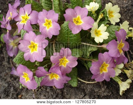 Primrose pink-yellow and yellow early spring flowers.