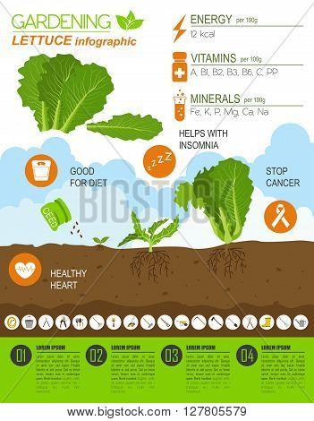 Gardening work, farming infographic. Lettuce. Graphic template. Flat style design. Vector illustration