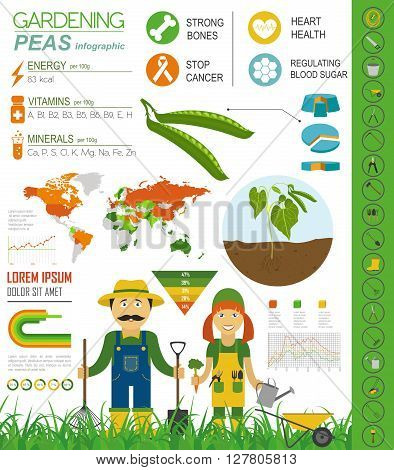 Gardening work, farming infographic. Peas. Graphic template. Flat style design. Vector illustration