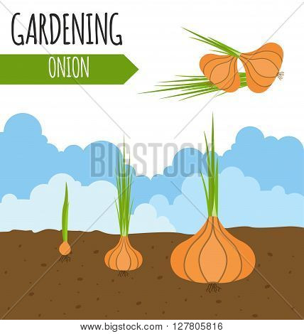 Gardening work, farming infographic. Onion, Graphic template. Flat style design. Vector illustration