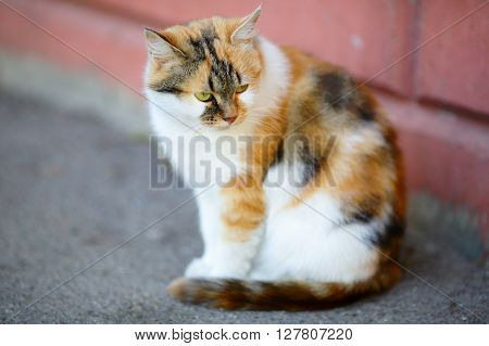 Mixed Breed White And Red Cat