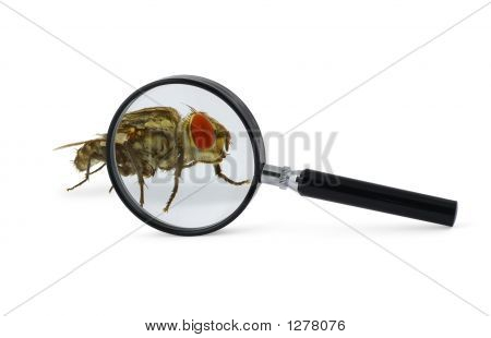 Magnified Fly Insect