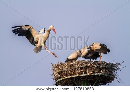 Three hungry young white storks in the nest ** Note: Visible grain at 100%, best at smaller sizes