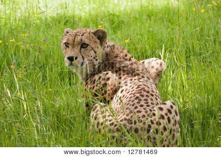 Cheetah Crouching In Long Grass