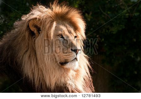 Head Of A Magnifcent Lion