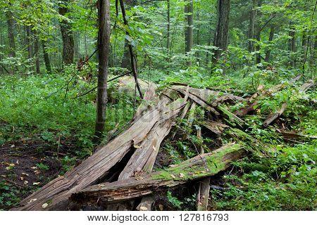 Broken Spruce Tree Lying Almost Declined