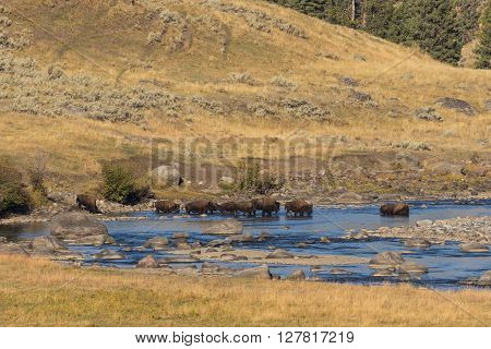 a herd of bison crossing the lamar river in yellowstone