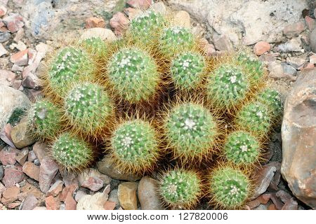 a Detail of a group Globular cacti