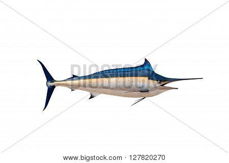 Marlin - SwordfishSailfish saltwater fish (Istiophorus) isolated on white background