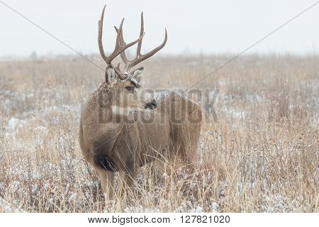 a big mule deer buck in a snow covered filed