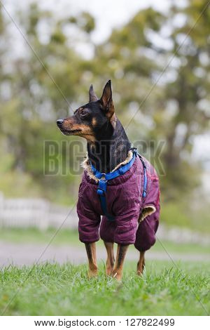 Miniature Pinscher on a walk in the park. Dog stands on the lush green grass.