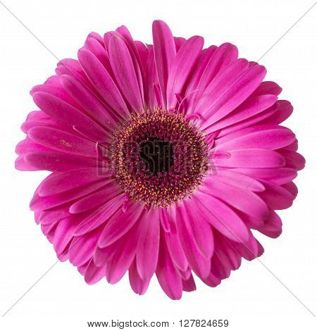 Pink gerbera daisy isolated on a white background