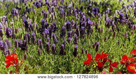 Lavender flowers mixed with red Salvia in a garden with shallow depth of field