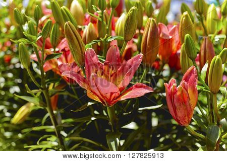 Pink Asiatic Lily with buds in a flower garden with shallow depth of field
