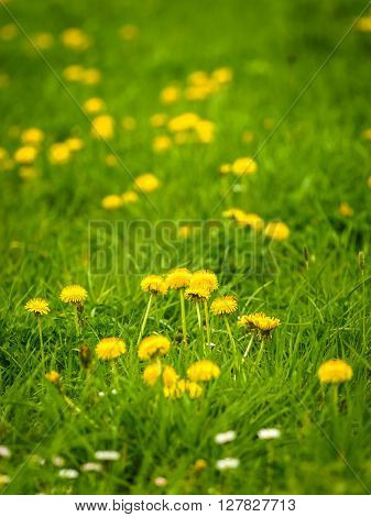 Nature background with green meadow and flowering common dandelions.