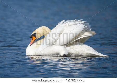 Mute swan (Cygnus olor) against blue water