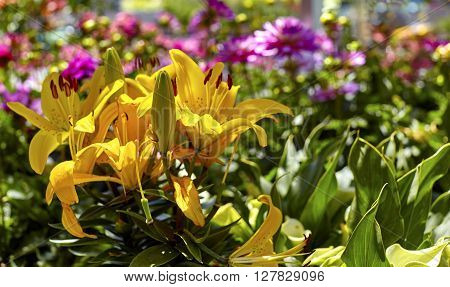 Yellow Asiatic Lilies in a flower garden with shallow depth of field and pink flowers in the background