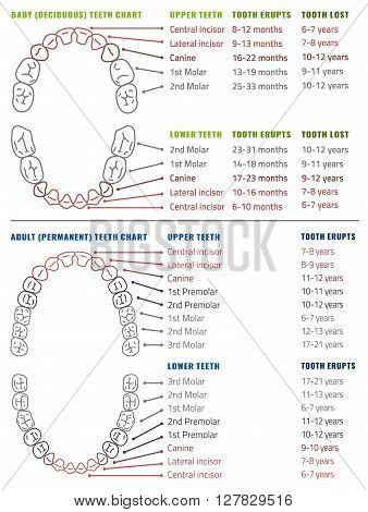 Baby and Adult international tooth arrival chart. Vector illustration. Editable image in modern style on white background. Human teeth infographic. Health dental care design. Poster, leaflet template
