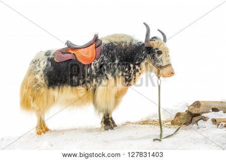 yak with saddle standing in the snow is isolated on white background close up