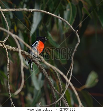 scarlet robin is perching on the tree
