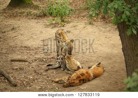 Three resting spotted hyenas - laughing hyena - on ground between trees Crocuta crocuta Hyaenidae the most common large carnivore in Africa