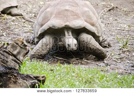 this is a close of a giant tortoise