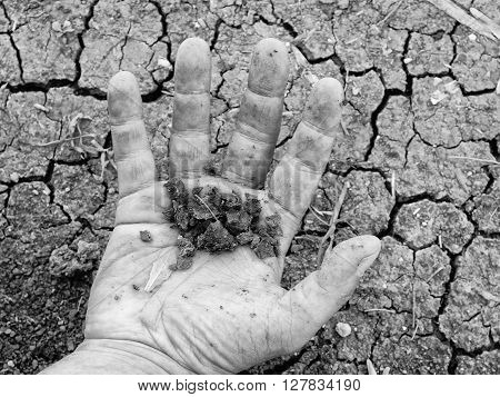 Dry Pieces Of Cracked Clay On Male Palm. Dry Cracked Clay