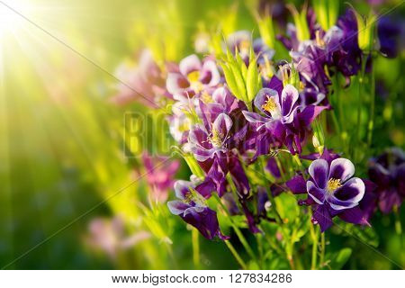 Close-up view to Aquilegia  flower. Selective focus, shallow depth of field.Aquilegia vulgaris - Common columbine isolated.