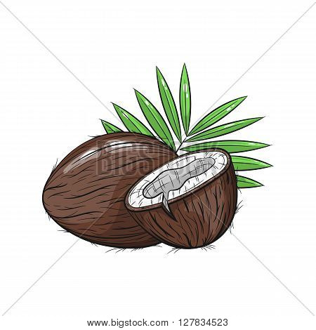 Vector coconut illustration. Slice of coconut, coconut isolated on white background. Vector sketch hand drawn - stock vector