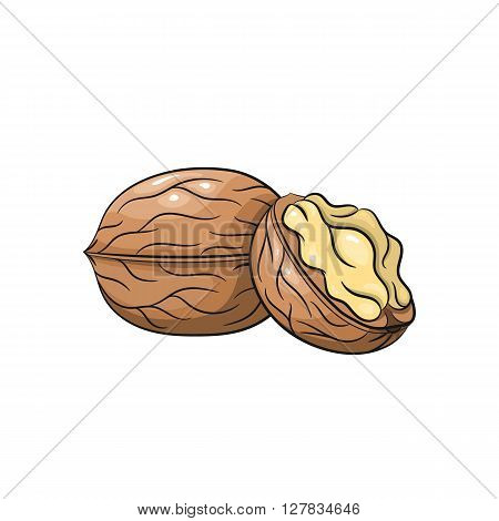 Vector walnut illustration. Slice of walnut, walnut isolated on white background. Vector sketch hand drawn - stock vector