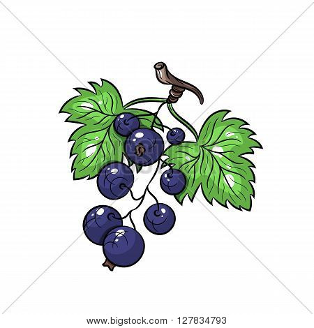 Currant. Vector hand drawn currant illustration isolated on white background - stock vector