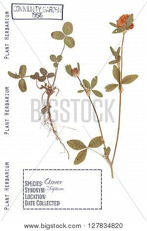 Herbarium of pressed parts of the plant clover. Stem leaves roots and flowers isolated on white