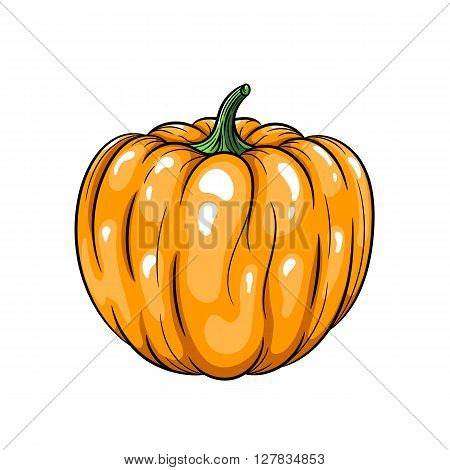 Vector pumpkin illustration. Pumpkin isolated on white background. Vector sketch hand drawn - stock vector