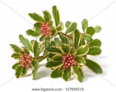 Sedum spurium Tricolor flowers isolated on white