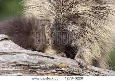 Porcupine Mom and Baby Nose to Nose
