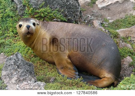 brown fur seal is sitting on the rock
