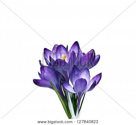 Violet flowers of crocus isolated on a white background