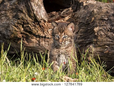 Bobcat Kitten in front of a log with wildflowers around
