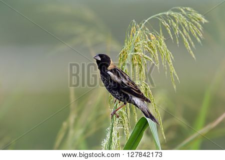 Male bobolink foraging on wild rice stalks.
